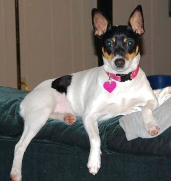 Rat terrier mixed with jack russell