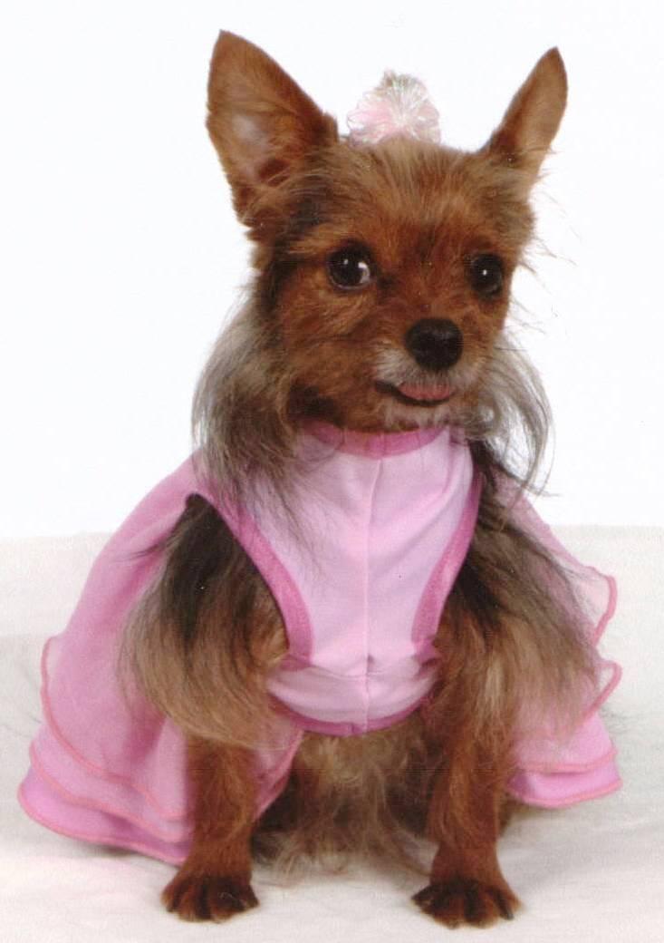 Yorkie And Chihuahua Mix | newhairstylesformen2014.com